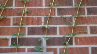 Hydrangea claiming new brick